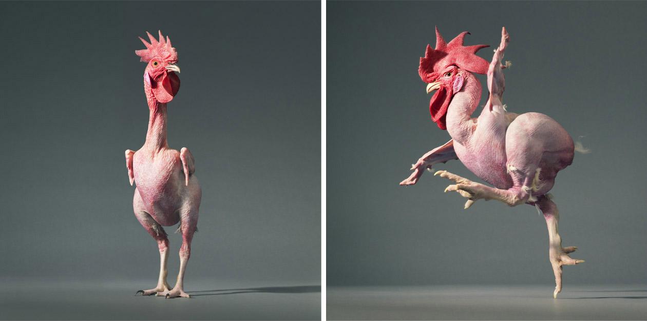 """Những chú gà """"trụi lông"""" xinh xắn!!"""